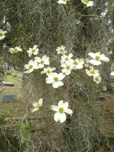 Dogwood blooms at Live Oak Cemetery, Selma, AL